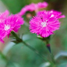 This family of old-fashioned favorites is grown for their pink, white, or red, spicy fragrant flowers and their often-evergreen clumps or mats of gray-blue, grassy leaves: http://www.bhg.com/gardening/design/styles/fragrant-plant-favorites/?socsrc=bhgpin033114dianthus
