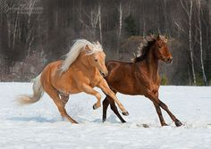 Two Horses in Snow