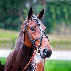 Delicate and narrow Elite racing bridle complete. Made of leather. Includes leather overcheck.