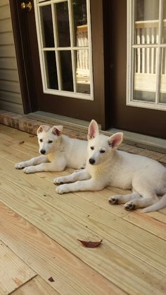 White German Shepherd puppies - 9 weeks old