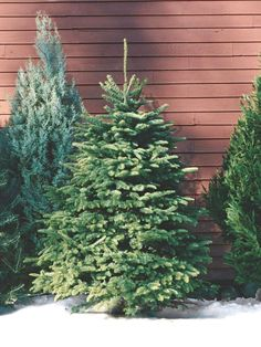 Nordmann Fir: As the preferred Christmas tree in Europe, this evergreen is becoming increasingly popular in the United States. It's grown primarily in the Pacific Northwest and is prized for its fat pyramid shape and lush, dark-green foliage. Christmas Tree Varieties, Types Of Christmas Trees, Fir Christmas Tree, Ceramic Christmas Trees, Holiday Tree, White Christmas, Holiday Decor, Xmas Trees, Christmas Decor