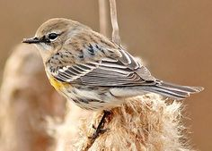 © Lew Scharpf, Alabama, February 2009, http://www.flickr.com/photos/35610936@N03/3308074222/Yellow-rumped Warbler  Adult female (Myrtle)  Brown or gray above with dark streaking White throat