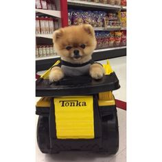 Jiff The Pomeranian Rides A Tonka Truck In A Store ... Just Because - so cute