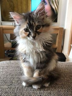 There's a critical period in kitten development — between four and 14 weeks of age — when a kitten's personality is shaped by their experiences.