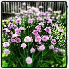 the flowers on the chives are gorgeous