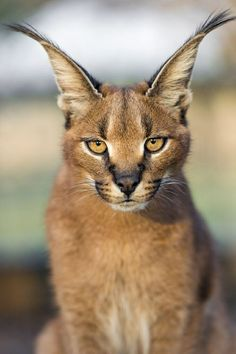 """The caracal is a medium sized cat which it spread in West Asia, South Asia, and Africa. The word Caracal is from Turkey """"Karakulak"""" which means """"Black Ears"""". Here is all about caracal as a pet. Animals And Pets, Baby Animals, Funny Animals, Cute Animals, Big Cats, Cool Cats, Cats And Kittens, Small Wild Cats, Beautiful Cats"""