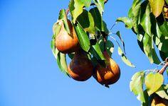 Yellow Pears 2015