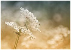 Dreamy capture of Queen Annes Lace flowers in pastel tones. It is great decor of girls room or nursery. Photograph Title: Queen Annes Lace