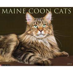 Maine Coon Cats Wall Calendar: This big-boned cat with the gorgeous, long flowing coat originated in North America but is now one of the most popular cat breeds in the world.  $13.99  http://calendars.com/Cat-Breeds/Maine-Coon-Cats-2013-Wall-Calendar/prod201300002925/?categoryId=cat00183=cat00183#