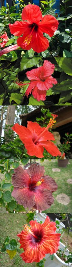 *** Red Hibiscus ***