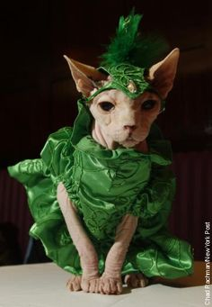 Hale Bop, a 7-year-old sphinx cat, models an emerald green costume during a feline fashion show at the Algonquin Hotel.