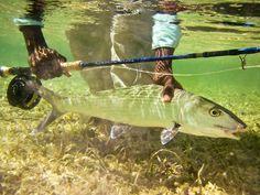 #Underwater #photography #bonefish