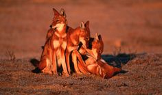 The Ethiopian wolf is a Critically Endangered species. (Photo: Courtesy of WWF)