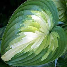 The hosta 'Rare Breed' has unique tri-colored leaves making it had to classify leaf color.