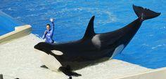 C'est un revirement sans précédent : la compagnie SeaWorld annonce mettre fin à son élevage d'orques. Cette mesure préfigure la fin de la captivité des épaulards dans les parcs aquatiques.