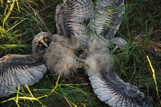 The week in wildlife – wo long-eared owl chicks play in the grass at a wildlife sanctuary near the village of Vygonoshchi, Belarus.  Photograph: Sergei Gapon/AFP/Getty Images
