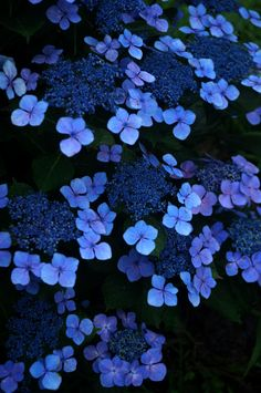 "Hydrangea -On my ""fantasy"" list because I can not manage to get it to grow properly in blackland prairie soil.  So pretty <3"