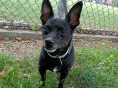 SAFE 7/9/13 Manhattan Center - P  My name is TACO. My Animal ID # is A0969039. I am a male black and white chihuahua sh mix. The shelter thinks I am about 5 YEARS old. https://www.facebook.com/photo.php?fbid=632760386736844=a.611290788883804.1073741851.152876678058553=1