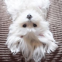 Cute Puppies, Cute Dogs, Dogs And Puppies, Doggies, Animals And Pets, Baby Animals, Cute Animals, Perros French Poodle, Sweet Dogs