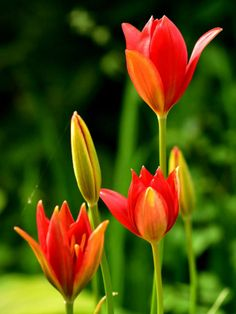 Tulipa sprengeri is a bulbous perennial with glossy, bright green leaves and solitary, goblet-shaped, bright red flowers