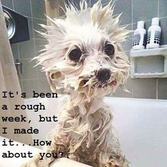 How Adorable! Funny ģd is what Tank looks like when he gets a bath! Funny Animal Jokes, Cute Funny Animals, Funny Animal Pictures, Animal Memes, Funny Jokes, Haha Funny, Funny Cute, Hilarious, Funny Dp