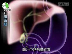 認識肝臟組織與功能