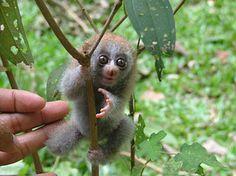 Slo Loris...bless!  Google Image Result for http://3.bp.blogspot.com/_mdjOoiVIrf4/SvT7ohUqmwI/AAAAAAAAAy8/qUuCAjdcAiw/s400/SO_SlowLorisBaby.jpg
