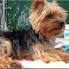 Yorkie Teddy The Bear is such a poser catching some rays