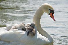 Schwanenmutter mit müden Küken im Gefieder