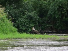 milwaukee-river-bald-eagle