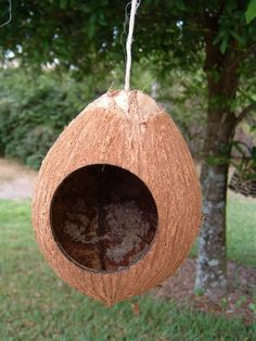 Coconuts can be used as a bird feeder or bird house.