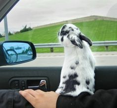 bunny in the car! chief would never doooo this!!