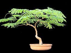 ¿Cómo se hace un Bonsái de Flamboyán? - http://www.jardineriaon.com/bonsai-flamboyan.html #plantas