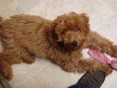 """mini Goldendoodle"" 