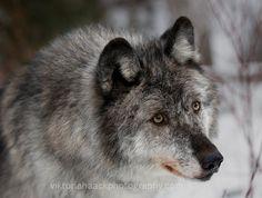 she wolf by islandtime.deviantart.com on @deviantART