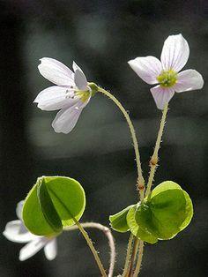 Käenkaali, Oxalis acetosella - Kukkakasvit - LuontoPortti
