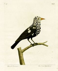 pied black bird