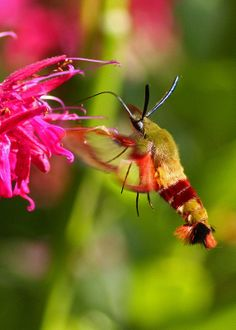 My mom had one of these in her garden one summer -- craziest looking moth ever!  ☀Hummingbird Clearwing Moth...#10 (Explore on March 20, 2012*