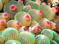 Under The Water, Life Under The Sea, Under The Ocean, Sea And Ocean, Underwater Creatures, Underwater Life, Ocean Creatures, Bubble Tip Anemone, Sea Anemone