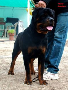 Rottweiler wow what a big boy!