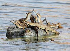 aligator babies