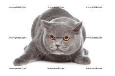 http://www.photaki.com/picture-blue-british-shorthair-cat_1165336.htm