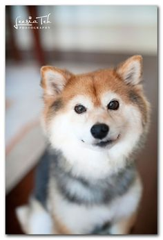 shiba inu such a good looking dog...def going to have one of these later in life