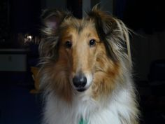 My beautiful Tootsie! A rough collie to love. :)