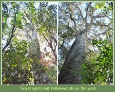 Magnificent 800 year old Yellowwoods on the Red Elephant Forest walk in the Knysna Forests