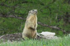 Marmotta in Alta Valle di Susa #myValsusa 10.06.18 #fotodelgiorno di Maria Rita Brun
