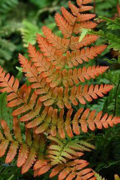 Dryopteris erythrosora 'Autumn Fern'