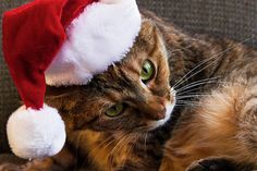 Cats in Christmas Costumes