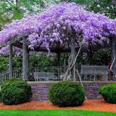 Wisteria explosion at the gazebo , isn't this amazing ! Put the wisteria I'm growing. on an outdoor room in west yard! Wisteria Tree, Purple Wisteria, Wisteria Pergola, Wisteria Trellis, Wisteria Garden, Purple Flowers, Chinese Wisteria, Flora Flowers, Pretty Flowers
