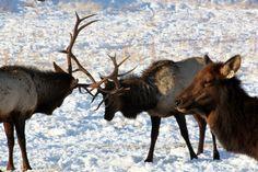 Oak Creek Elk  Feeding Station...Naches Washington